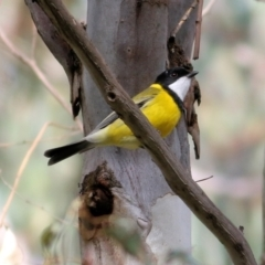 Pachycephala pectoralis (Golden Whistler) at Wodonga - 11 Apr 2021 by Kyliegw