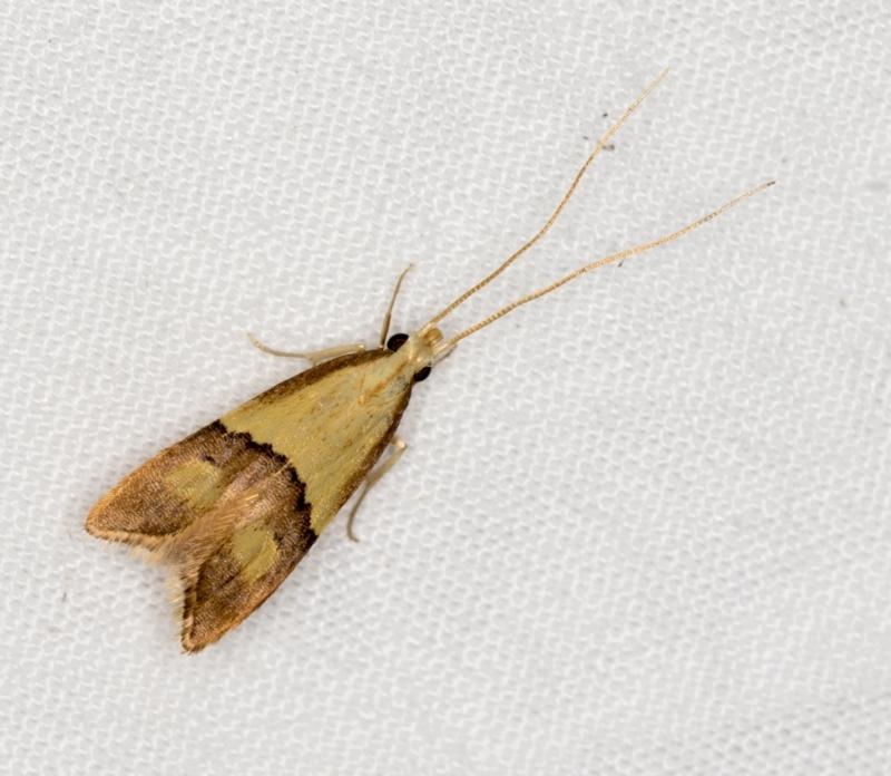 Crocanthes prasinopis at Melba, ACT - 13 Mar 2021