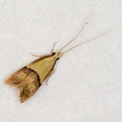 Crocanthes prasinopis (A Curved -horn moth) at Melba, ACT - 13 Mar 2021 by Bron