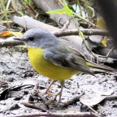 Eopsaltria australis (Eastern Yellow Robin) at Wodonga - 11 Apr 2021 by Kyliegw
