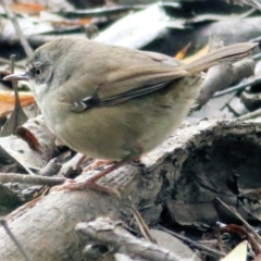 Sericornis frontalis (White-browed Scrubwren) at Wodonga - 11 Apr 2021 by Kyliegw
