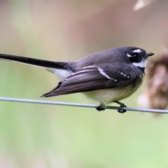 Rhipidura albiscapa (Grey Fantail) at Wodonga - 11 Apr 2021 by Kyliegw