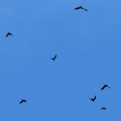 Corvus mellori (TBC) at Wodonga - 11 Apr 2021 by Kyliegw