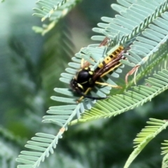 Vespula germanica (European wasp) at Wodonga - 11 Apr 2021 by Kyliegw