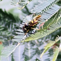 Vespula germanica at Wodonga - 11 Apr 2021