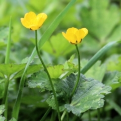 Ranunculus sp. (Buttercup) at Wodonga - 11 Apr 2021 by Kyliegw