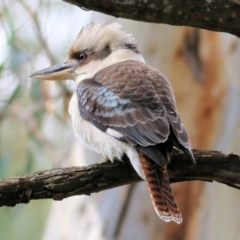 Dacelo novaeguineae (Laughing Kookaburra) at Wodonga - 11 Apr 2021 by Kyliegw