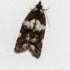 Epitymbia cosmota (A Tortricid moth) at Melba, ACT - 13 Mar 2021 by Bron