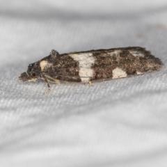 Epitymbia cosmota at Melba, ACT - 13 Mar 2021