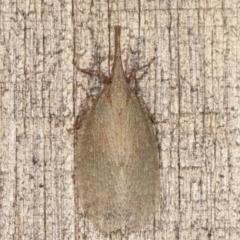 Rentinus dilatatus (Fulgorid planthopper) at Melba, ACT - 5 Apr 2021 by kasiaaus