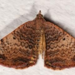 Chrysolarentia mecynata (Mecynata Carpet Moth) at Melba, ACT - 5 Apr 2021 by kasiaaus