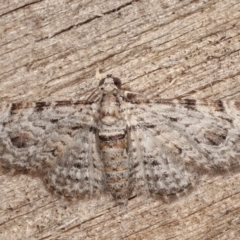 Chloroclystis insigillata (Insigillated Carpet) at Melba, ACT - 5 Apr 2021 by kasiaaus