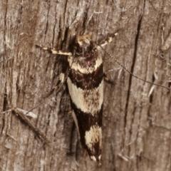 Macrobathra desmotoma ( A Cosmet moth) at Melba, ACT - 5 Apr 2021 by kasiaaus