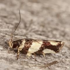 Macrobathra desmotoma at Melba, ACT - 6 Apr 2021