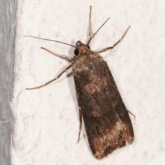 Agrotis ipsilon (Black Cutworm) at Melba, ACT - 5 Apr 2021 by kasiaaus