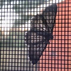 Psilosticha absorpta (Fine-waved Bark Moth) at Aranda, ACT - 11 Apr 2021 by KMcCue