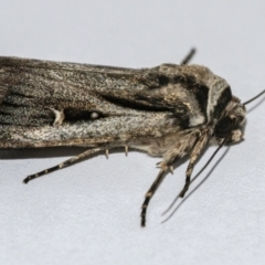 Proteuxoa undescribed nr paragypsa (A Noctuid moth) at Googong, NSW - 11 Apr 2021 by WHall
