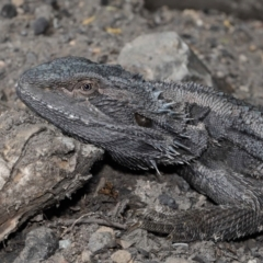 Pogona barbata (Eastern Bearded Dragon) at ANBG - 11 Apr 2021 by TimL