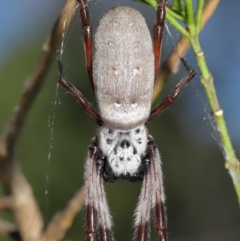 Nephila edulis (Golden orb weaver) at ANBG - 11 Apr 2021 by TimL