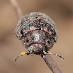 Trachymela sp. (genus) (Brown button beetle) at ANBG - 9 Apr 2021 by TimL