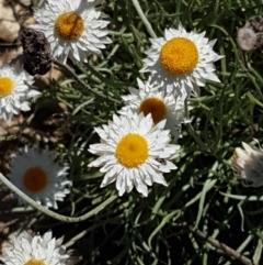 Leucochrysum albicans subsp. tricolor (Hoary Sunray) at Quialigo, NSW - 12 Apr 2021 by tpreston