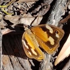 Heteronympha merope (Common Brown) at Gundary, NSW - 12 Apr 2021 by tpreston