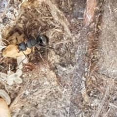 Polyrhachis sp. (genus) (A spiny ant) at Pomaderris Nature Reserve - 12 Apr 2021 by tpreston