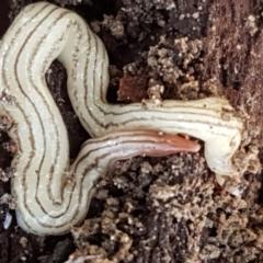 Fletchamia quinquelineata (Five-striped flatworm) at Pomaderris Nature Reserve - 12 Apr 2021 by tpreston