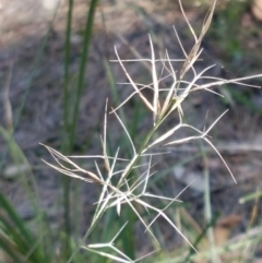Aristida ramosa (Purple Wire Grass) at Pomaderris Nature Reserve - 12 Apr 2021 by tpreston