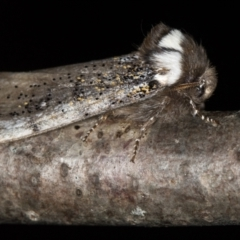 Oenosandra boisduvalii (Boisduval's Autumn Moth) at Melba, ACT - 18 Mar 2021 by Bron