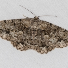 Unplaced externaria (Mahogany Bark Moth) at Melba, ACT - 18 Mar 2021 by Bron