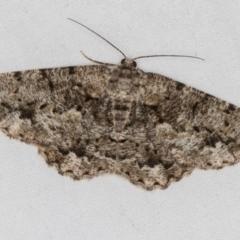 Unplaced externaria (Unplaced externaria) at Melba, ACT - 18 Mar 2021 by Bron