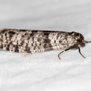 Lepidoscia (genus) at Melba, ACT - 18 Mar 2021