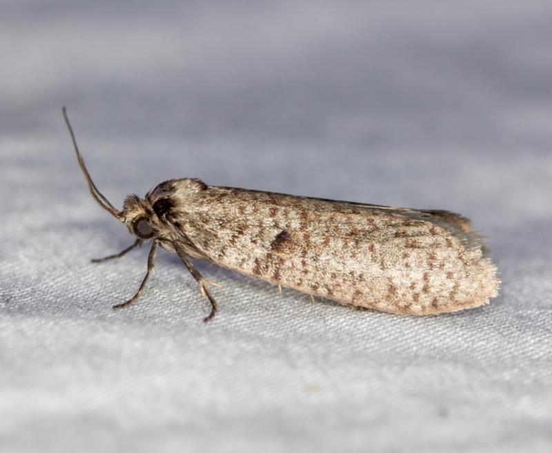 Trigonocytarra clandestina at Melba, ACT - 18 Mar 2021