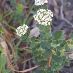 Unidentified Other Shrub (TBC) at Pomaderris Nature Reserve - 12 Apr 2021 by tpreston