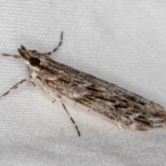 Scoparia (genus) at Melba, ACT - 18 Mar 2021