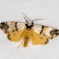 Thallarcha albicollis (Crossed Footman) at Melba, ACT - 18 Mar 2021 by Bron