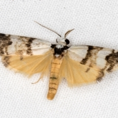 Thallarcha albicollis at Melba, ACT - 18 Mar 2021