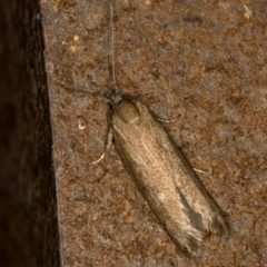 Gelechioidea (superfamily) (Unidentified Gelechioid moth) at Melba, ACT - 18 Mar 2021 by Bron