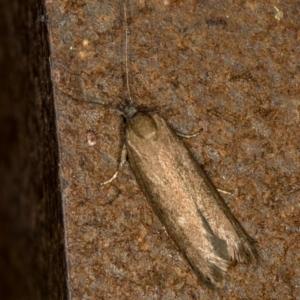 Gelechioidea (superfamily) at Melba, ACT - 18 Mar 2021