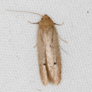 Oecophoridae (family) at Melba, ACT - 18 Mar 2021