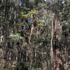 Bedfordia arborescens (Blanket leaf) at Uriarra, NSW - 12 Apr 2021 by Sarah2019