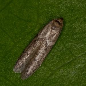 Blastobasis (genus) at Melba, ACT - 18 Mar 2021