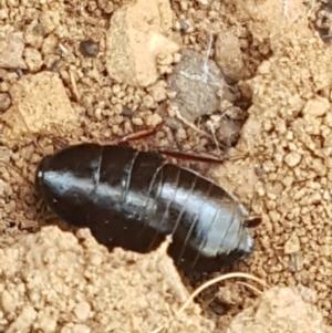 Platyzosteria similis at Pomaderris Nature Reserve - 12 Apr 2021