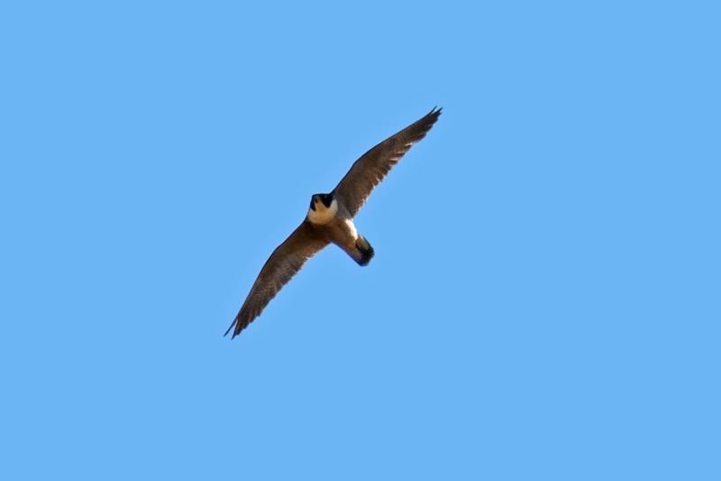 Falco peregrinus at Jerrabomberra Wetlands - 30 Sep 2019