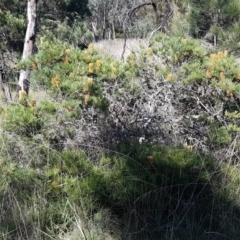 Banksia spinulosa var. spinulosa at Pomaderris Nature Reserve - 12 Apr 2021