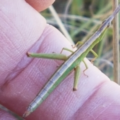 Keyacris scurra (Key's Matchstick Grasshopper) at Pomaderris Nature Reserve - 12 Apr 2021 by tpreston