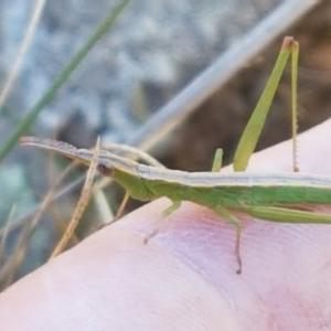 Keyacris scurra at Pomaderris Nature Reserve - 12 Apr 2021