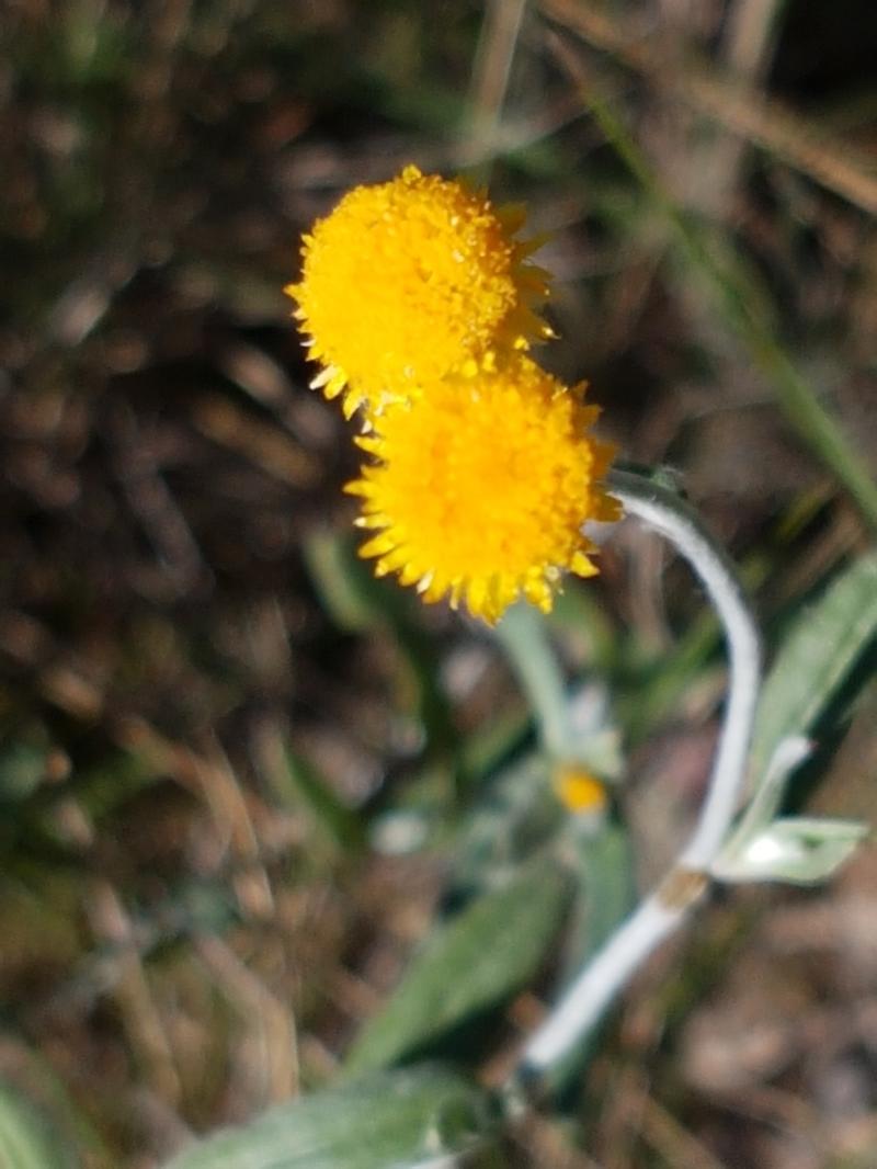 Chrysocephalum apiculatum at Pomaderris Nature Reserve - 12 Apr 2021