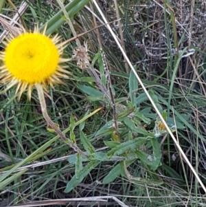 Coronidium oxylepis subsp. lanatum at Pomaderris Nature Reserve - 12 Apr 2021